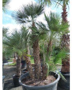 "Palme ""Chamaerops Humilis"" 150 cm"