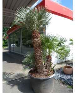 "Palme ""Chamaerops Humilis"" 100-125 cm"