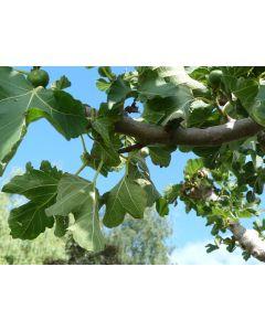 """Tafelfeige """"Ficus Carica"""" 110 L"""