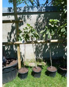 """Tafelfeige """"Ficus Carica"""" 15 L"""