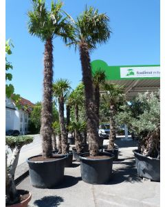 "Hanfpalme ""Trachycarpus"" 3,50 m"