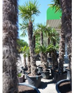 "Hanfpalme ""Trachycarpus"" 1 m"