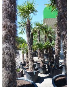 "Hanfpalme ""Trachycarpus"" 2 m"