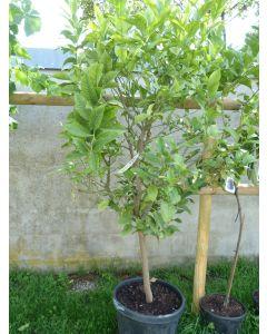 """Limette """"Citrus Aurantifolia"""""""