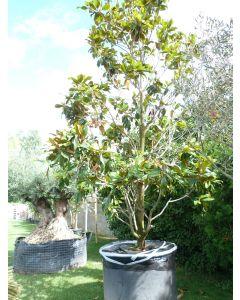 """Magnolienbaum """"Magnolia Grandiflora"""" 400-500 cm"""