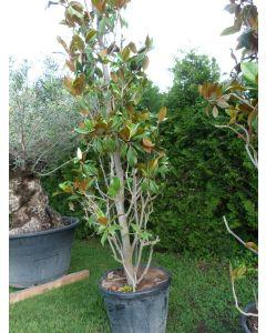 """Magnolienbaum """"Magnolia Grandiflora"""" 250-300 cm"""