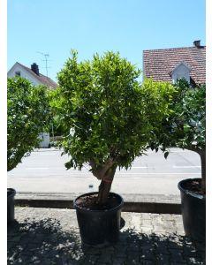 """Mandarinenbaum """"Citrus Reticulata"""""""