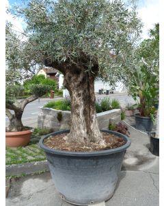"Olivenbaum ""Pata"" Umfang 1,43 m - hoher Wuchs"