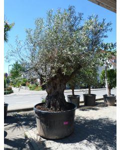 """Olivenbaum """"Pata"""" Umfang 2 m - Prachtexemplar"""
