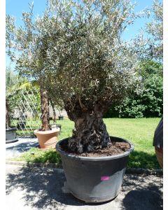 "Olivenbaum ""Pata"" Umfang 1,67 m"