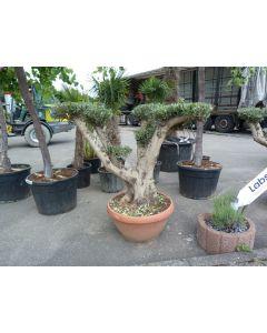 "Olivenbaum ""Terracota Bonsai"""