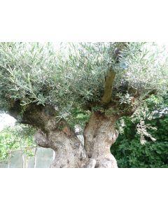 Olivenbaum Umfang 4 m, zweistämmig