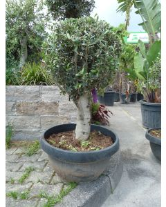"Olivenbaum ""Tarrina Pot Ball"""