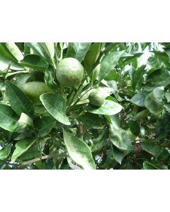Orangenbaum 30/45