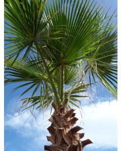 "Palme ""Washingtonia Robusta"" 2 m"