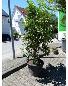 Zitronenbaum 70 L